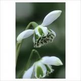 Galanthus-Jacquenetta