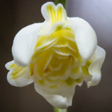 Galanthus-Lady-Elphinstone